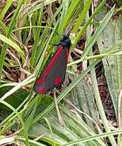 cinnabar moth on grass 20200620 afternoon Bonner Hill Road Cemetery Kingston London England cropped DHD